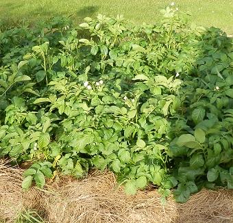 täckodlad potatis