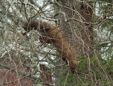 A rare animal Pine marten was chased by magpies